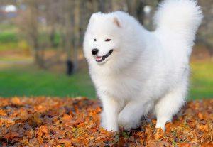Những điều bạn cần làm khi nuôi chó Samoyed